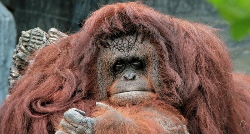 Name:  orangutan2.jpg Views: 107 Size:  140.1 KB