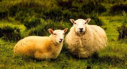 Name:  sheep.jpg Views: 259 Size:  41.5 KB