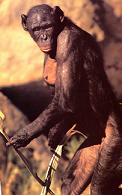 Name:  bonobo02.JPG
