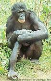 Name:  bonobo03.JPG