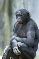 Name:  bonobo04.JPG