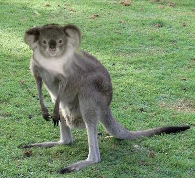 Name:  Eastern_Grey_Kangaroo_Young_Waiting.JPG Views: 207 Size:  106.3 KB