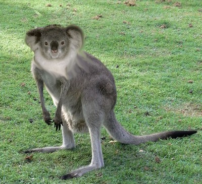 Name:  Eastern_Grey_Kangaroo_Young_Waiting.JPG