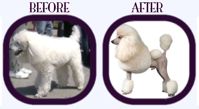 Name:  PoodleBeforeAfter.jpg
