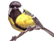 Great-Tit-for-August-bird-007
